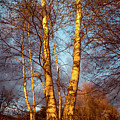 Birch Tree In Golden Hour by Lilia D