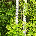 Birch Tree Panorama by Stefan Mazzola