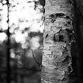 Birch Tree by Shawn Smith