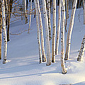Birch Trees In The Snow, South by Panoramic Images