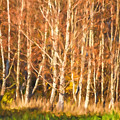 Birch Trees Parade by Lutz Baar