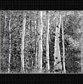 Birch Trees by Susan Kinney