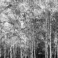 Birch Trees1 by Svetlana Sewell