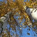 Birch Twins by Jessica Yudis