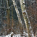 Birches During A Snowfall by Mark Schiffner