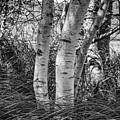 Birches In Acadia by Rick Berk