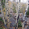 Birches In Colorado by Lisa Gabrius