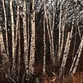 Birches In The Rain by Bill Driscoll