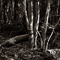 Birches In The Wood by Susan Capuano
