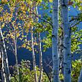 Birches On Lake Shore by Elena Elisseeva