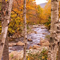 Birches On The Kancamagus Highway by Nancy Griswold