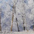 Birches by Silke Magino