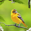 Bird And Blooms - Baltimore Oriole by Christina Rollo