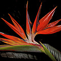 Bird In Flight Vivid Colors by Debra and Dave Vanderlaan