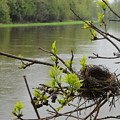 Bird Nest In Ash Tree Branches by Kent Lorentzen