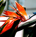 Bird Of Paradise 2 by Susanne Van Hulst