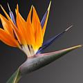 Bird Of Paradise #3 by Judy Whitton
