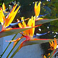 Bird Of Paradise Backlit By Sun by Amy Vangsgard