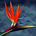 Bird Of Paradise by Clayton Bruster