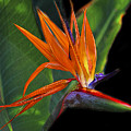 Bird Of Paradise Digital Art by TN Fairey