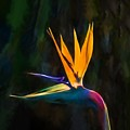 Bird Of Paradise Flower    Go2 by Ray Warren