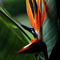 Bird Of Paradise  by Heather Strong