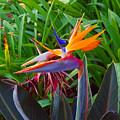 Bird Of Paradise Kalon by John Nichols