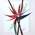 Bird Of Paradise Lily by Karin  Dawn Kelshall- Best