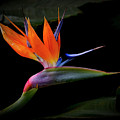 Bird Of Paradise by Randy Hall