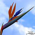 Bird Of Paradise by Rebecca Morgan