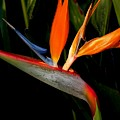 Bird Of Paradise by Rosalie Scanlon