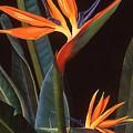 Bird Of Paradise by Susan Jump