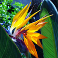 Bird Of Paradise by Susanne Van Hulst