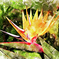 Bird Of Paradise W C by Peter J Sucy