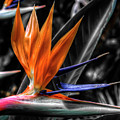 Bird Of Paradise by Wayne Sherriff