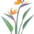 Bird Of Paradize Flowers by Anastasy Yarmolovich