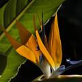 Bird Of Paridise2 by Richard Gordon