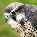 Bird Of Prey by Angel Ciesniarska