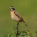 Bird On A Bush  by Cliff Norton