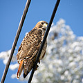 Bird On A Wire by Edward Myers