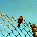Bird On Fence by Karin Kohlmeier