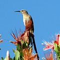 Bird On Protea by Mary Ivy