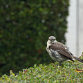 Bird On The Hedges by Travis Rogers