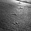 Bird Prints In The Sand Black And White by Jill Reger
