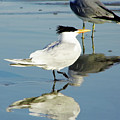 Bird - Tern - Reflection by D Hackett