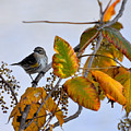 Birds And  Berries by Todd Hostetter