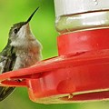 Female Ruby-throated Hummingbird by Earl Williams Jr
