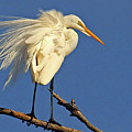 Birds - Great Egret by HH Photography of Florida