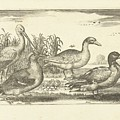 Birds In The Reeds, Adriaen Collaert, 1659 by Adriaen Collaert