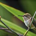 Birds Of Bc - No. 31 - Rufous Hummingbird - Selasphorus Rufus by Paul W Sharpe Aka Wizard of Wonders